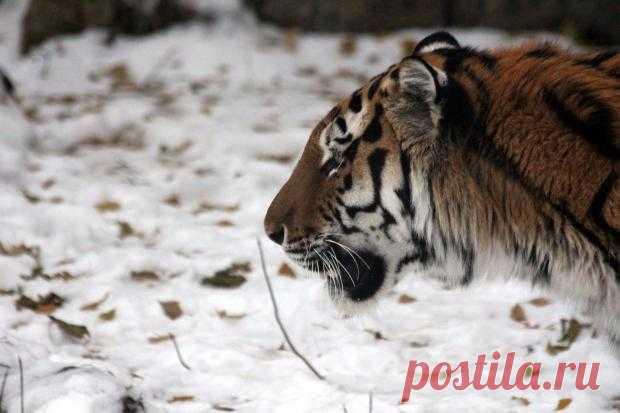 Фотография года 2020: премии удостоился снимок амурского тигра сделанный россиянином