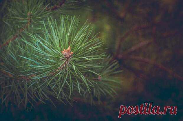 Установлено, что в воздухе соснового леса в 10 раз меньше бактерий, чем в лиственном лесу.Воздух вокруг хвойных деревьев насыщен фитонцидами - веществами, способными поражать опасные микроорганизмы. Да и сами зеленые иголки - замечательная природная аптека. В хвое содержатся эфирные масла,