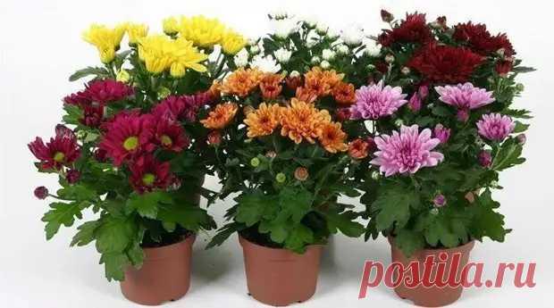 Правила ухода за хризантемой в домашних условиях - Цветочки - медиаплатформа МирТесен