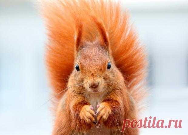 Белка-тяжелоатлет: забавные снимки животного со штангой из орехов