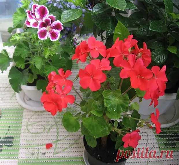 Чем подкормить герань для обильного цветения? - Цветочки - медиаплатформа МирТесен