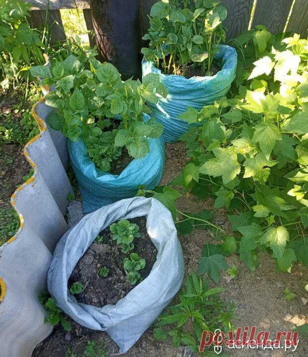 Мои эксперименты 2020-го. Картофель. Доброго всем времени суток!Заканчивается огородный сезон, время убирать последний урожай и подводить... Читай дальше на сайте. Жми подробнее ➡
