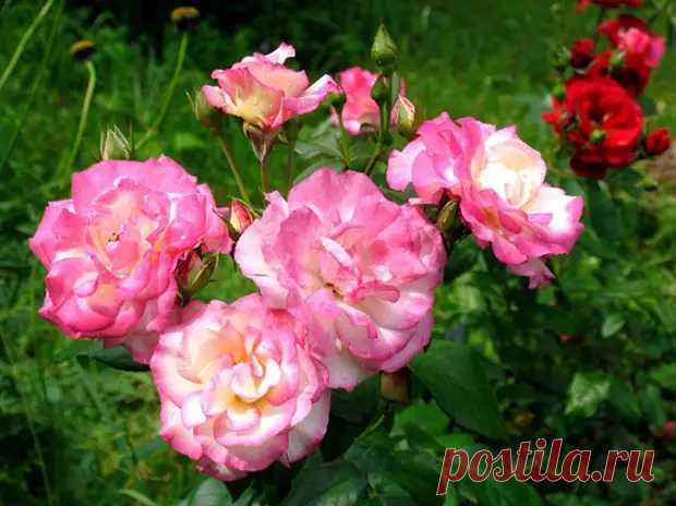 Как укрыть розы на зиму, посоветовал главный садовод России - Наш уютный дом - медиаплатформа МирТесен