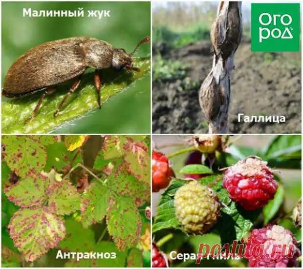 5 главных правил ухода за малиной весной - Наша дача - медиаплатформа МирТесен