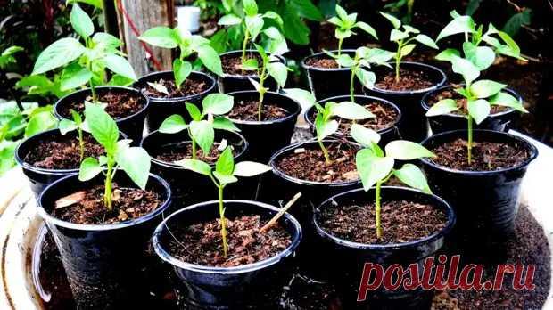 Часть 2: Уход за рассадой болгарского перчика для отличного урожая! - Дизайн и дом - медиаплатформа МирТесен