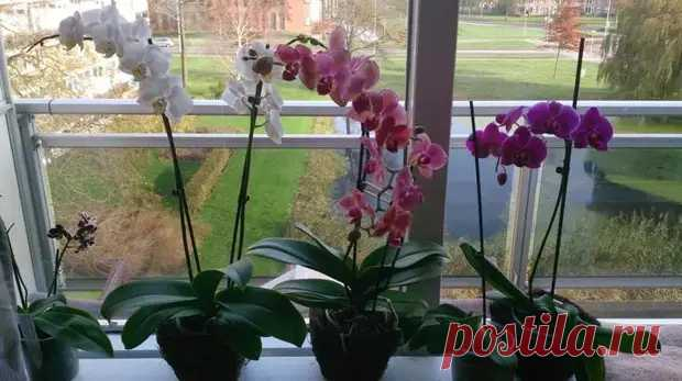 Орхидея засыхает: что делать, поиск причин, правила ухода - Цветочки - медиаплатформа МирТесен