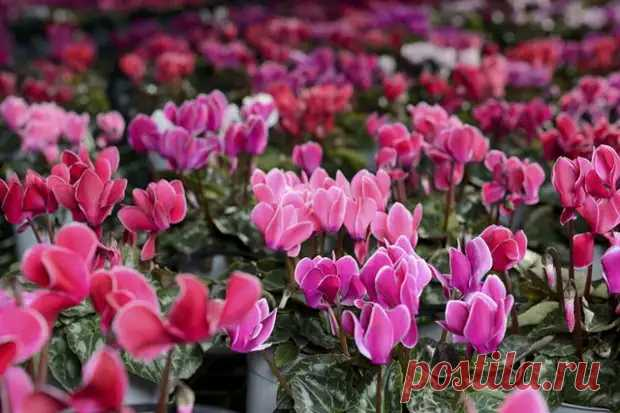 Почему не цветет цикламен - Цветочки - медиаплатформа МирТесен
