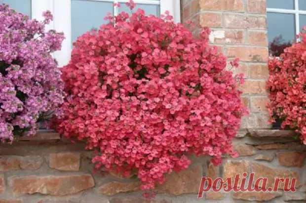 Не только петуния и лобелия: 5 «неизбитых» чарующих цветов для кашпо и балконов - Уголок хозяйки - медиаплатформа МирТесен