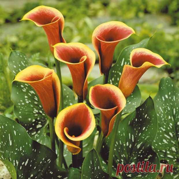 цветы калла фото: