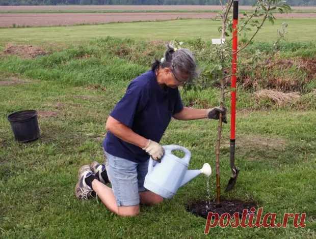 Ваш первый сад: что нужно знать о саженцах плодовых деревьев - Дачно-огородные радости - медиаплатформа МирТесен