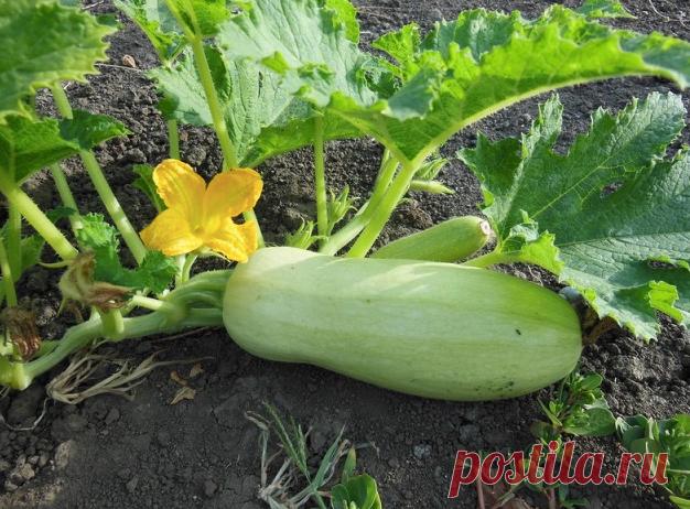 Как выращивать Кабачки в июне, чтобы они были Большие и Здоровые. Секрет моей бабушки | О жизни и жизненное | Яндекс Дзен