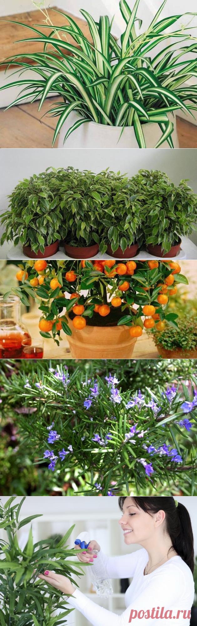 цветы очищающие воздух в комнате фото можно использовать