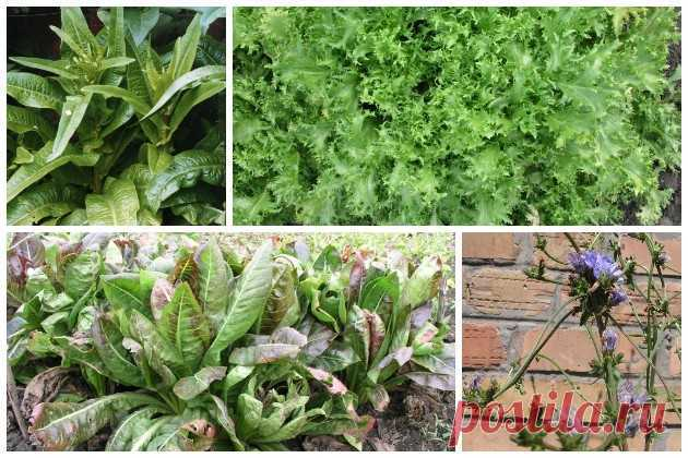 Салат: какие бывают виды и как их использовать Ваши 6 Соток Существует много видов и разновидностей салата. Разберемся в их ботанической принадлежности и охарактеризуем наиболее распространенные формы и особенности их использования.
