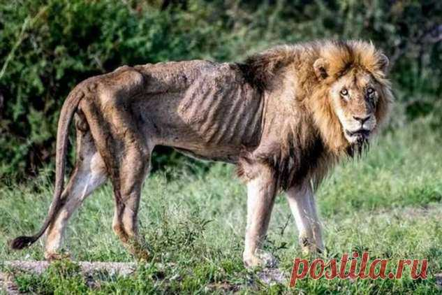 Львы без прайда: тяжелая участь неприкаянных самцов . Тут забавно !!!