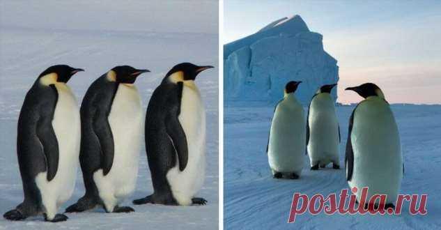 Почему пингвины ходят по трое? . Тут забавно !!!