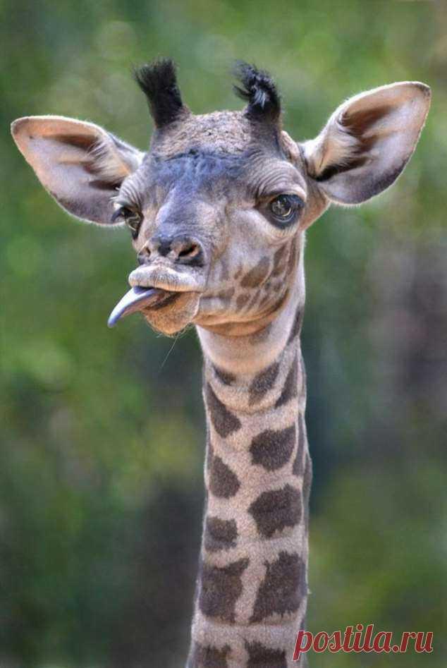 Картинка ржачного жирафа