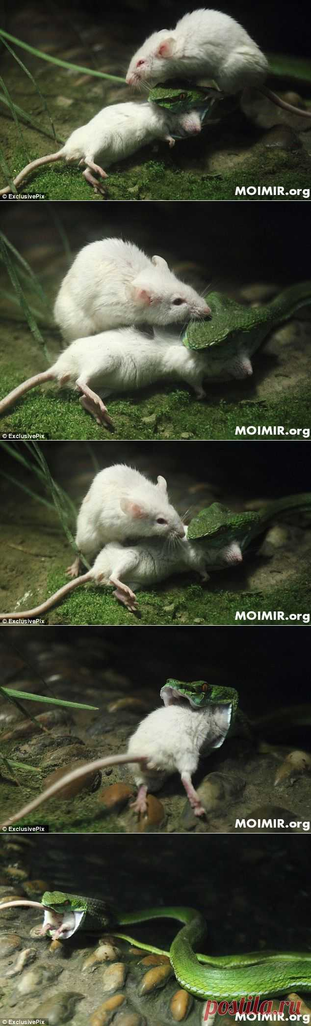 Трагедия в картинках. Храбрый маленький мышонок. |