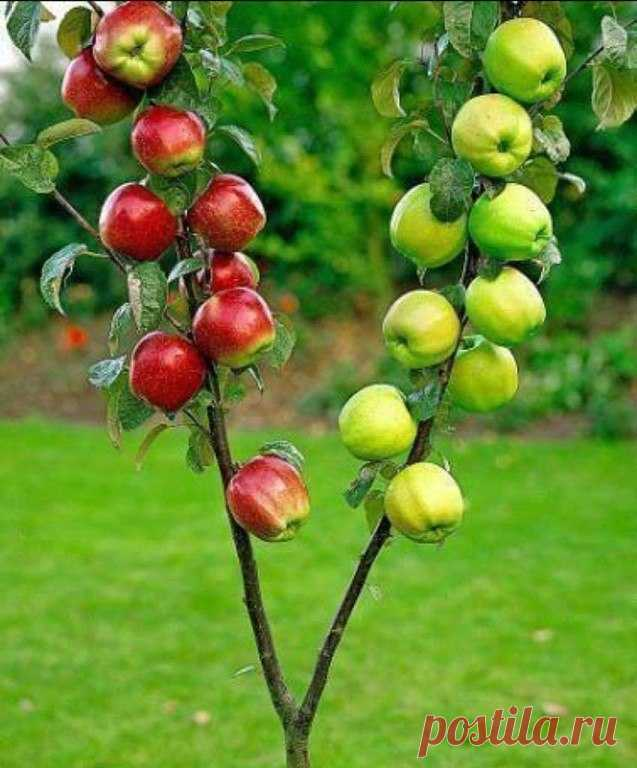 As it is correct to impart several grades on one apple-tree