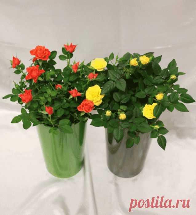 Пересадка комнатной розы. Почему она погибает после покупки?