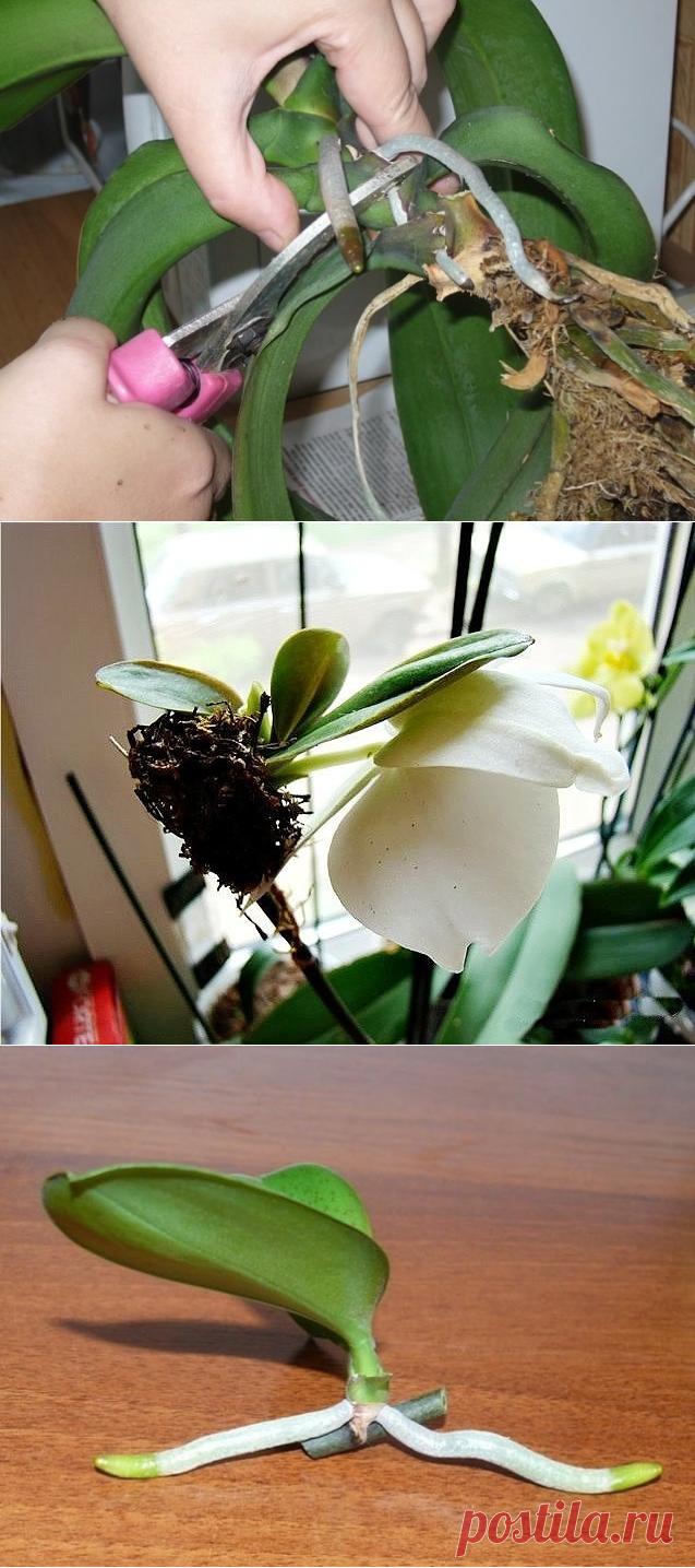 Картинки размножения орхидеи