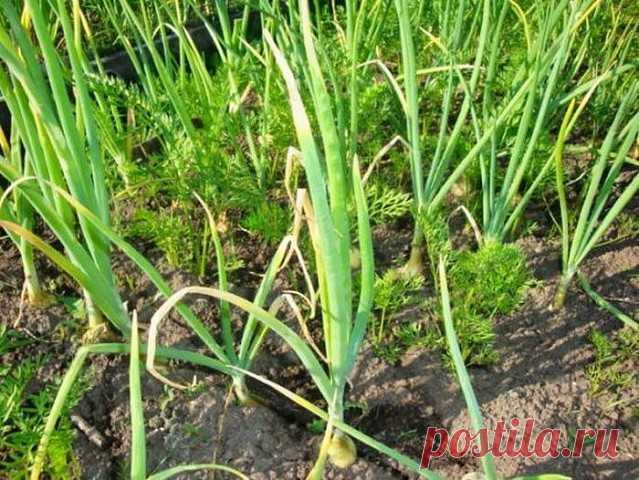 ПОЧЕМУ У ЛУКА И ЧЕСНОКА БЕЛЕЮТ КОНЧИКИ? Сохраните, чтобы не потерять!  Причин у этого явления может быть несколько:   1. КИСЛАЯ ПОЧВА. Чтобы ее раскислить, разведите 3 ст. л. кальциевой селитры в 10 л воды и под каждое растение вылейте минимум по стакану. Вместо извести можно 2 стакана золы развести кипятком, размешать и вылить в ведро воды.   2. НЕДОСТАТОК АЗОТА. В этом случае луковые перья желтоватого или светло-зеленого цвета, а кончики белые. Срочно начинайте опрыскива...