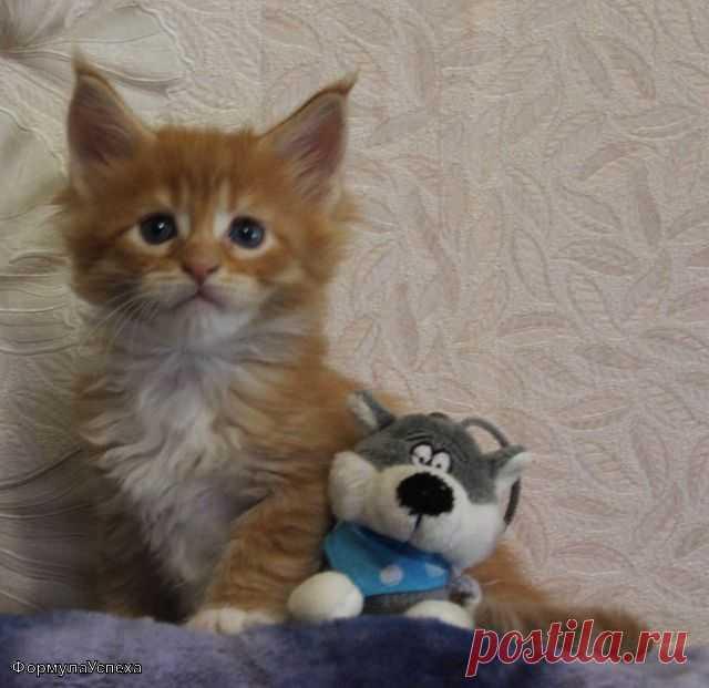 Котик мейн-кун, фортунатас формула Успеха