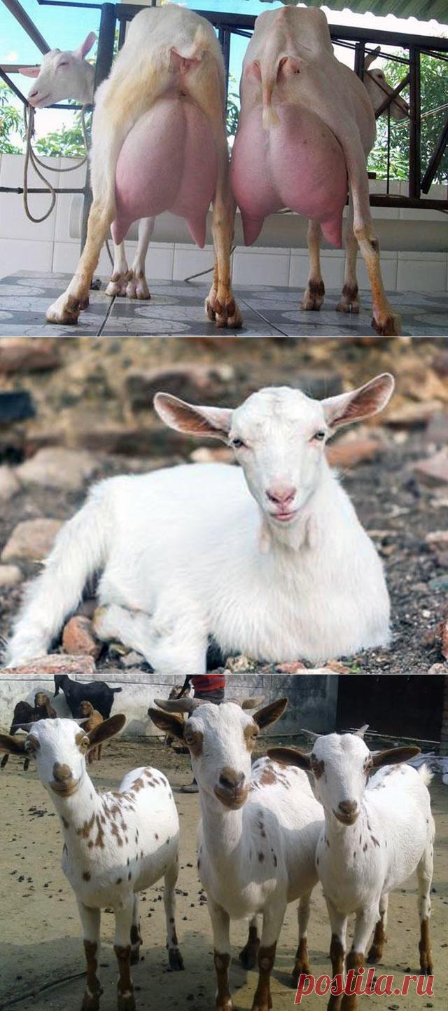 Дойные козы – 24 лучшие молочные породы коз, фото и видео
