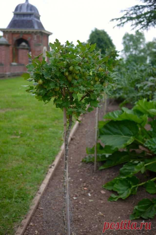 Выращивание крыжовника и красной смородины на штамбе. Как вырастить, как формировать. Фото — Ботаничка.ru