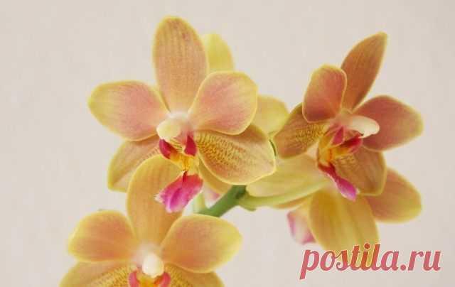 7 советов по основам ухода за орхидеями для новичка. Фото - Ботаничка.ru