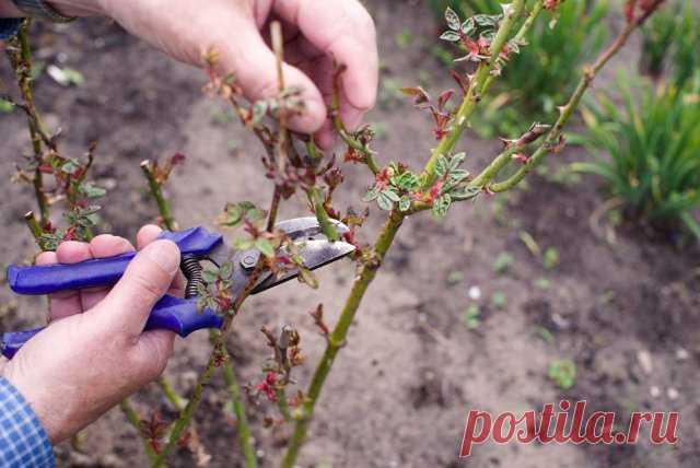 Как выращивать розы в тени и полутени   Розы (Огород.ru)