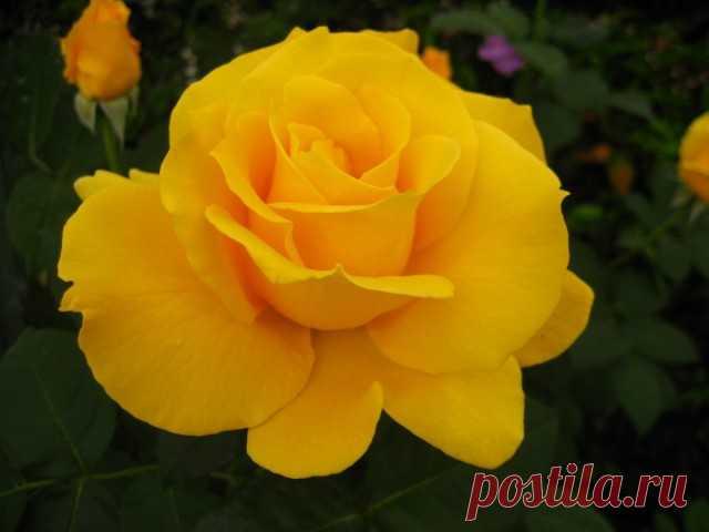 """Чайно-гибридная роза, сорт """"Midas Touch"""""""