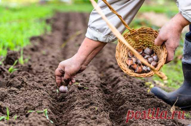 Что можно посадить рядом с чесноком – выбираем правильных соседей по грядке Оказывается, соседство некоторых растений с чесноком может защитить первых от вредителей и болезней, повысить урожаи. Но не каждой культуре понравится расти рядом с этим пахучим овощем. Чеснок давно известен своими фунгицидными и антибактериальными свойствами...