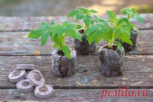 Выращивание рассады томатов без пикировки Можно ли выращивать рассаду томатов без пикировки – часто спрашивают неопытные огородники, опасаясь повредить хрупкие молодые растения в процессе или не желая впустую тратить время на необязательный э...