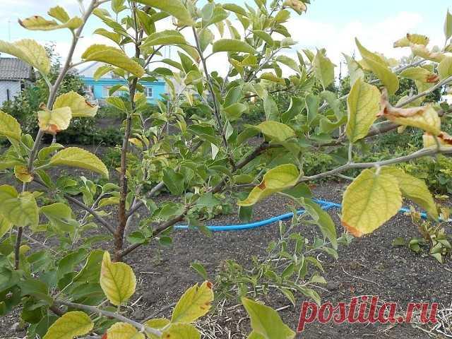 ИЗ-ЗА ЧЕГО ЖЕЛТЕЮТ ЛИСТЬЯ НА ЯБЛОНЕ И ГРУШЕ Сохраните, чтобы не потерять! В последние годы листья яблони и груши начинают приобретать