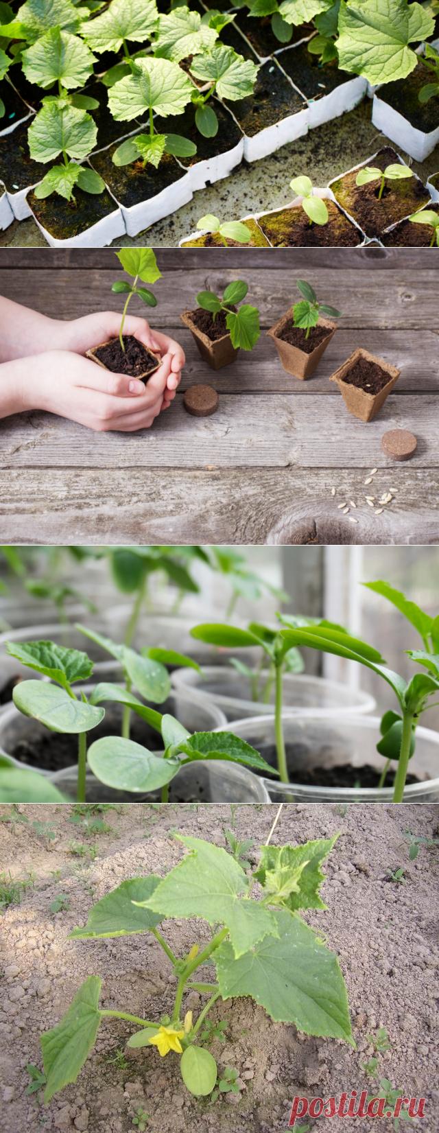 Как вырастить рассаду огурцов? | Растения