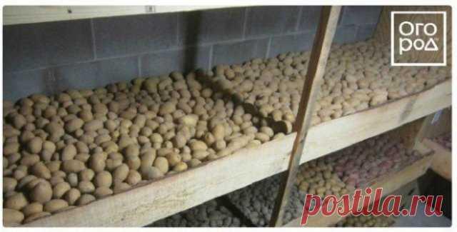 Preparamos los tubérculos de las patatas para la plantación: como no perder los momentos importantes   las Patatas (Огород.ru)