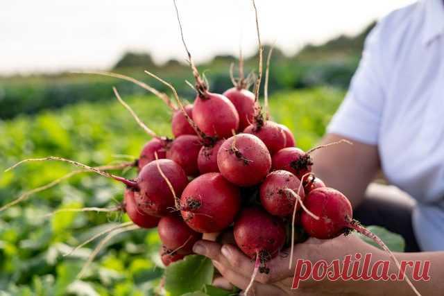 «Восточный деликатес» — находка для гурманов — Ботаничка.ru