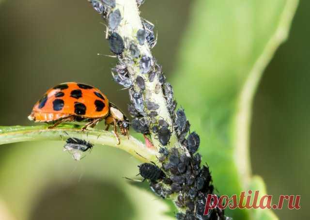 Los escarabajos útiles, que no vale la pena destruir en el jardín, la huerta y sobre los colores