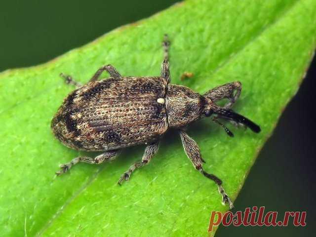 Чем опасен жук-долгоносик, и как от него избавиться