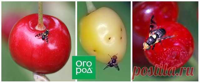 Внутри ягод вишни и черешни червяки – что это и как избавиться | Вишня, черешня (Огород.ru)