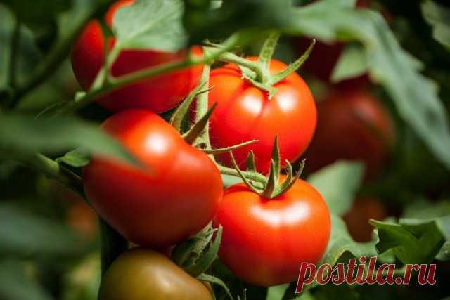 Мой опыт формирования томатов для продления плодоношения