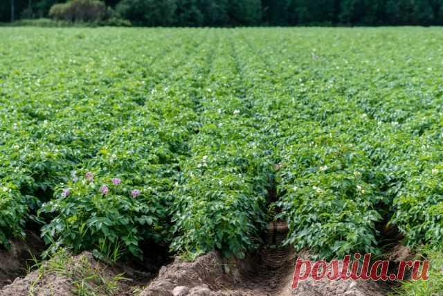 Зачем окучивать? Что вы не знали о картофеле, но стеснялись спросить Распространённое мнение – картофель окучивают, чтобы на стеблях образовывались придаточные корни и растение получало дополнительное питание. Однако это не так. Достаточно во время уборки урожая рассмотреть нижние части стеблей, чтобы убедиться, что если там и образовалось несколько...