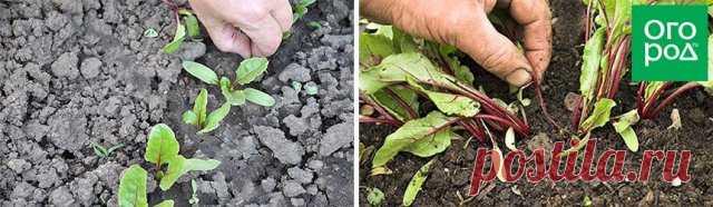6 шагов до небывалого урожая свеклы | Морковь, свекла, редис (Огород.ru)