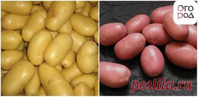 Картофель из семян – стоит ли выращивать? | Картофель (Огород.ru)
