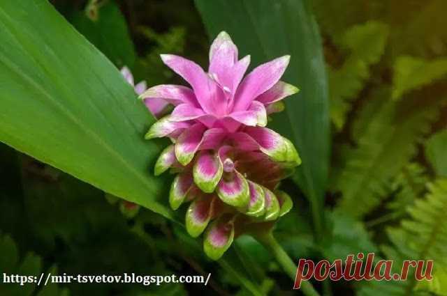 Мир растений: Куркума не только пряность, но и красивое комнатное растение