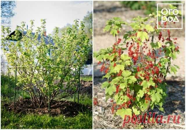 As it is correct to replace an adult bush to other place   Care of a garden (Огород.ru)