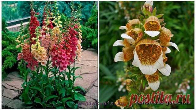 Наперстянка: посадка и уход. Как вырастить наперстянку из семян. Фото: наперстянка в саду