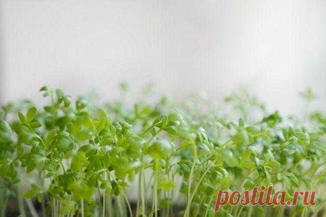11 неприхотливых культур для вашего огорода на подоконнике Многие зеленные и пряные растения отличаются скороспелостью, холодостойкостью и теневыносливостью, поэтому подходят для выращивания дома на подоконнике. Мы выбрали для вас самые вкусные и непритязател...