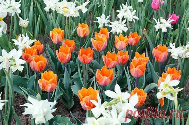 Нарциссы, тюльпаны и рябчики: сажаем луковичные   6 соток