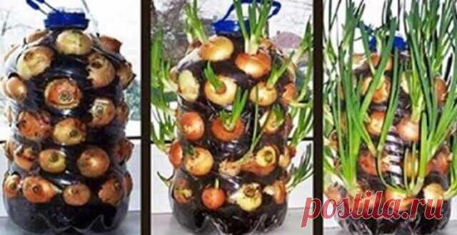 Восхитительный трюк с бутылкой: круглый год собираю урожай зеленого лука! Как вырастить зеленый лук? Тебе понадобится: 1 пластиковая бутылка емкостью 5 или 8 л, ножницы, спица,пророщенные вводе луковицы, грунт, вода...